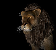 Angry Lion at black background Stock Image