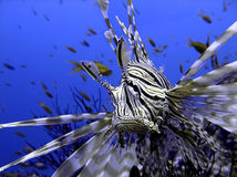 Angry lion-fish on the coral reef in the Red Sea Royalty Free Stock Photo