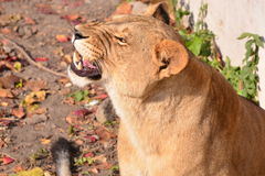 Angry lion. This is an angry lion, in its territory into a lot of people, interfere with its life, it is angry Stock Image