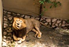 Angry Lion. Johor Bahru, Malaysia: Protected lion at Johor Bahru Zoo in Malaysia Stock Image