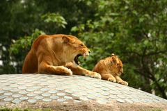 Angry lion mother roaring at her child. Angry african lioness roaring at her little baby lion royalty free stock photos