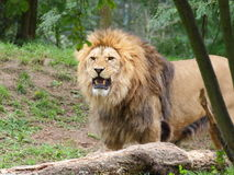 Angry lion portrait. Angry lion male looking directly at the camera - portrait Royalty Free Stock Image