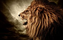 Angry lion. Roaring lion against stormy sky Stock Photography