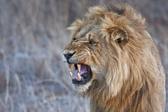 Angry lion snarling. Closeup photograph of a young male lion snarling and looking intimidating. Please see more wildlife images in my portfolio Royalty Free Stock Images