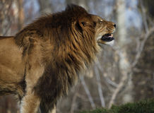 Angry lion sniffs. For a prey Stock Photography