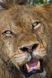 Angry lion stare through leaves ready to kill. Intruder Stock Photo