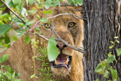 Angry lion stare through leaves ready to kill. Intruder Stock Photography