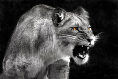 Angry lioness. Black and white lioness showing sharp fangs stock images
