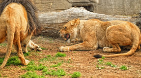 Angry lioness Stock Photography