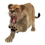 Angry Lioness Stock Image