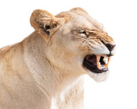 Angry lioness. Furious lion female isolated on white background Royalty Free Stock Photos