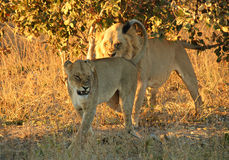 Angry Lions. Lion Couple with Angry Look, Khwai River, Botswana Stock Images