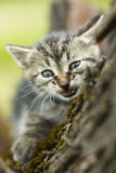 Angry little cat Royalty Free Stock Photo