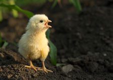 Angry little chicken shouting. Little angry chicken standing on earth and shouting royalty free stock photography