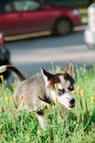 Angry little husky. At green grass outdoor Royalty Free Stock Image