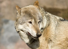 Angry look. Brown wolf is glaring suspiciously Stock Photos