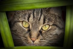 Angry look of a cat, close-up. A gray cat with a head in details, a mustache. Angry look Royalty Free Stock Photos
