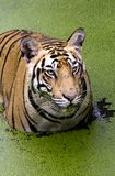 Angry look of a Royal bengal Tiger Stock Photo
