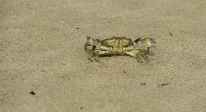 Angry looking beach crab ready to attack. Angry looking beach crab running in the sand and being irritated, ready to attack stock image