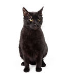 Angry Looking Black Cat Sitting Royalty Free Stock Photo
