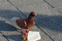 Angry looking brown pigeon next to belgian waffle royalty free stock photos