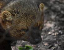 Angry Looking Fisher Cat Up Close. Fisher cats are aggressive weasel like animals stock image