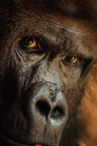 Angry looking gorilla with dangerous expression Stock Images