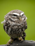 Angry looking little owl Royalty Free Stock Photos