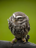 Angry looking little owl Royalty Free Stock Photo