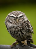 Angry looking little owl perched on a branch Stock Images