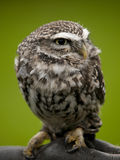 Angry looking little owl perched on a branch Royalty Free Stock Photography