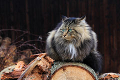 An angry-looking Norwegian Forest Cat Stock Photo