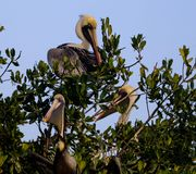 3 angry looking Pelicans in a tree. Pelicans are a genus of large water birds that make up the family Pelecanidae. They are characterised by a long beak and a stock photos