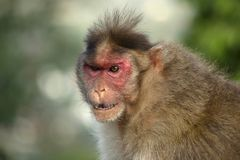An angry looking rhesus macaque or monkey, Maharashtra, India.  stock image