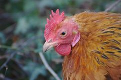 Angry looking rooster stock photo