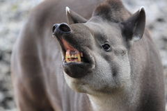 Angry lowland tapir. The detail of agry lowland tapir royalty free stock image