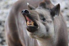 Angry lowland tapir Royalty Free Stock Image