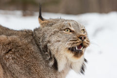 Angry lynx portrait Royalty Free Stock Images