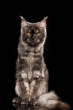 Angry Maine Coon Cat Sitting Isolated on Black Background Stock Image