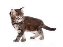 Angry maine coon cat walking. isolated on white background Royalty Free Stock Photography