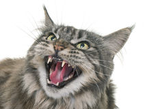 Angry maine coon. In front of white background royalty free stock photos