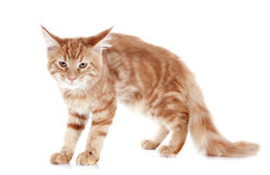 Angry maine coon kitten Royalty Free Stock Photos