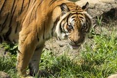 Angry malayan tiger staring Royalty Free Stock Image