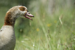 An angry male goose defends his brood Stock Photos