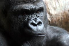 Angry Male Gorilla Royalty Free Stock Photography