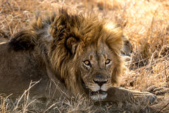 Angry Male Lion. An unhappy male lion protects his female Stock Photos