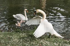 Angry male swan protecting its little cygnets. On a lake Stock Images