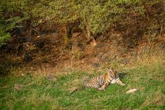 An angry male tiger with expression on his face at ranthambore stock photos