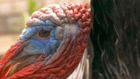 Angry male turkey slow motion video. Closeup of angry male turkey's beak opened a slow motion video stock video footage