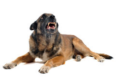 Angry malinois. Purebred belgian sheepdog malinois angry in front of white background Royalty Free Stock Images